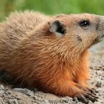 Twenty Fascinating Fact about Groundhog Day
